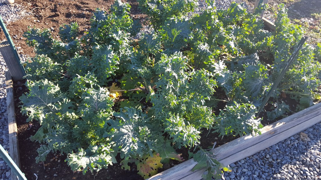 Raised bed of kale